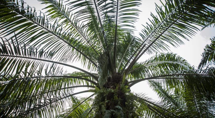 из чего делают пальмовое масло википедия