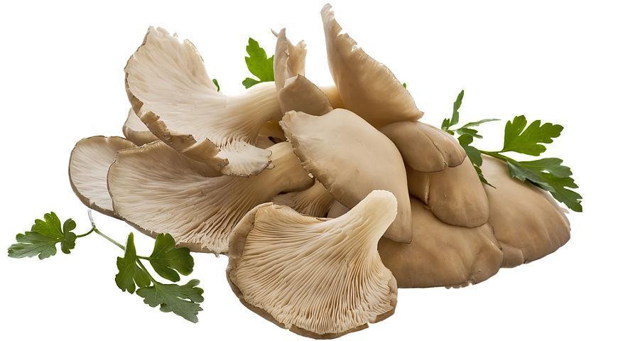 Штаммы грибов вешенки. Характеристики популярных штаммов | Огородники | 480x870