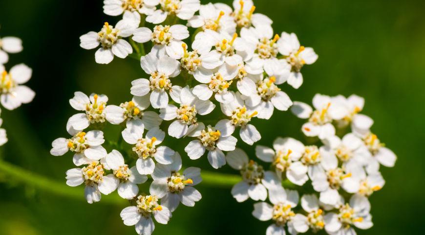 лекарственные травы - тысячелистник