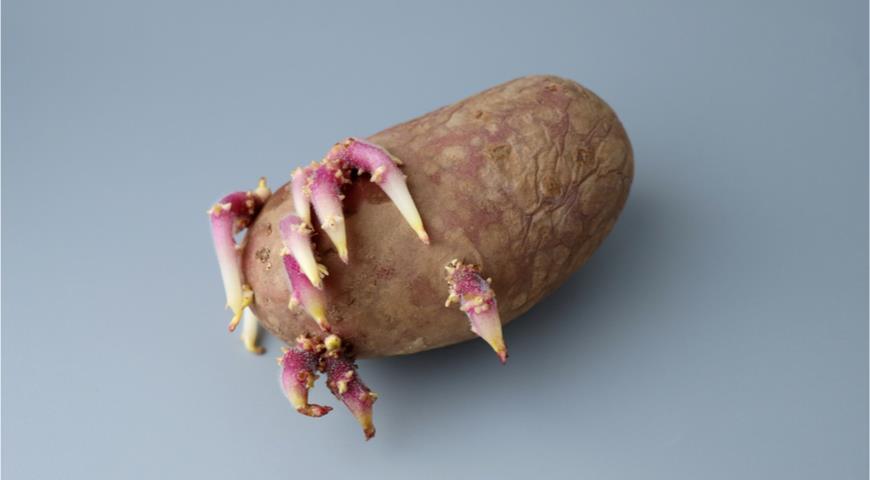 Почему опасен прошлогодний картофель
