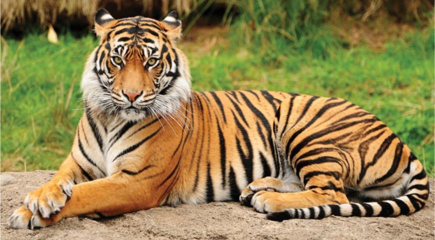Можно ли доить тигра и как на самом деле делают тигриное молоко