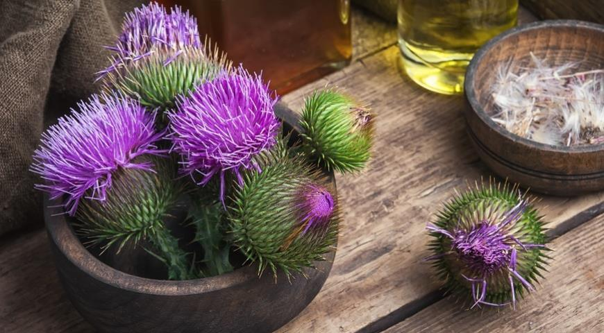 Расторопша: сорняк, признанный лекарством. Как его принимать и зачем?
