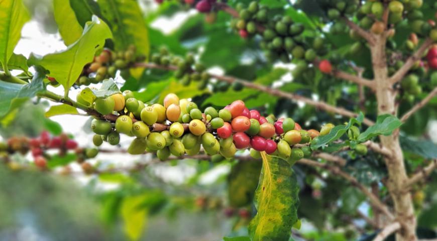 Зёрна робусты на дереве